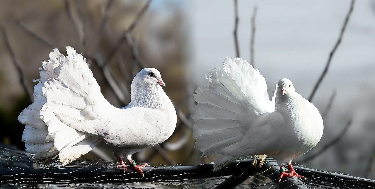 Co brać pod uwagę przy hodowaniu gołębi?