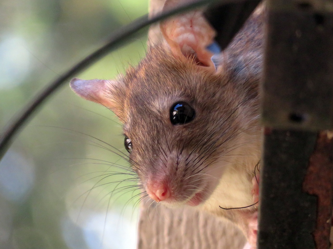 Jak utrzymać czystość posiadając szczura?